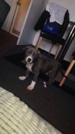 Blue staffy kc reg pup 13 weeks old