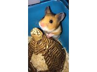 3 month old Syrian hamster , cage and wheel for sale