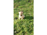 Beautiful make Pomeranian cross Chihuahua
