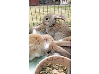 Baby French lop rabbits