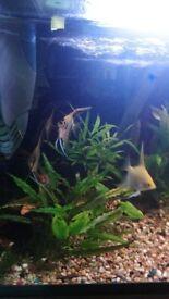 4x angel fish