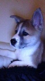 6 month old American Akita