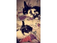 2 female rabbits with outdoor hutch