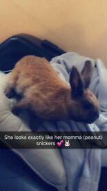 7 month old female rabbit