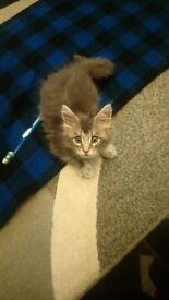 8 and half week maine coon kitten full breed