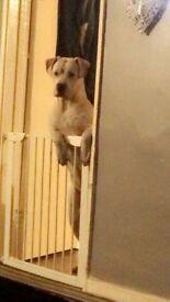 Full American bulldog pup