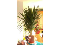 Large Yucca Tree in pot - 4 stems - big and heavy - must go!