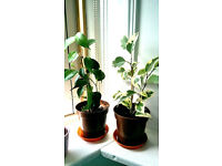 small ficus benjamina weeping fig tree house plants - 2 types