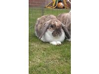 2 lop eared rabbits with hutch and run