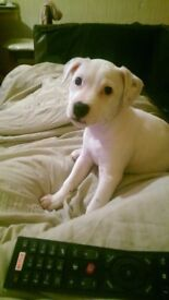 £450 Gorgeous female staffy puppy for sale-11 weeks old