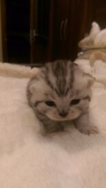 Pedigree British Shorthair Silver/Black Kittens.