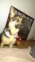 *urgence* berger allemand 1ans a vendre 600 nego