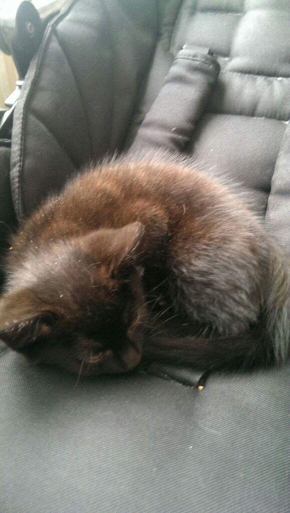 10 week's old female kitten