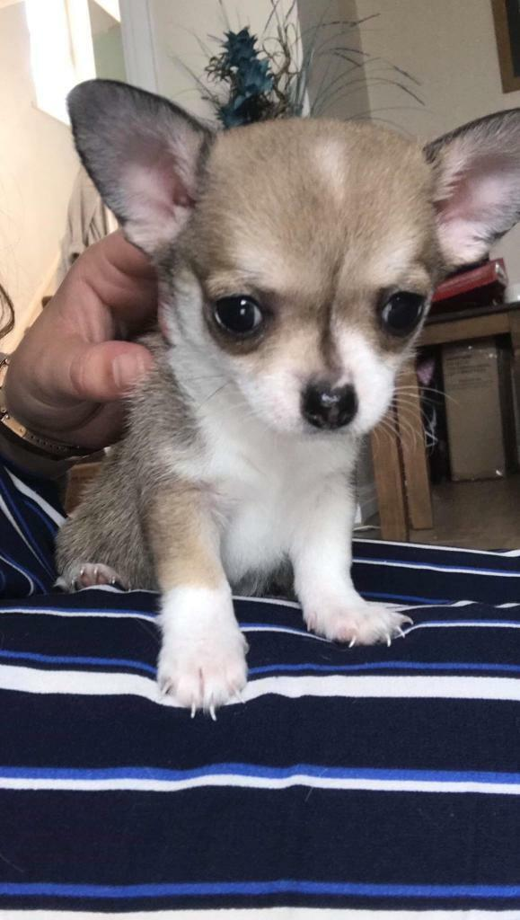 4 tiny chihuahua boy pups for sale | in Swansea | Gumtree