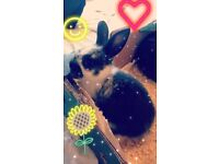 Californian Lop Bunnies For Sale !