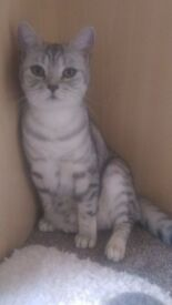Pedigree BSH Spotty Silver/Black Kitten
