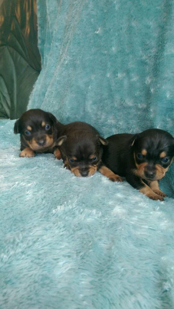 Stunning miniature pinscher x chihuahua pups for sale