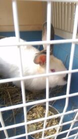 Found White Rabbit, albino with black nose, in Buxton with Lammas