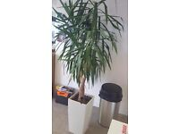 BEAUTIFUL LARGE POTTED HOUSE/OFFICE PLANTS