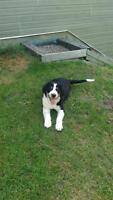 Bernese cross puppy