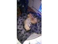 I have 2 boy pug puppies for sale mother can be seen have been wormed ready to go