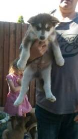 Husky Siberian Pups For sale