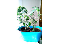 small ficus benjamina weeping fig tree house plants