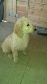 Gorgeous goldendoodle boy