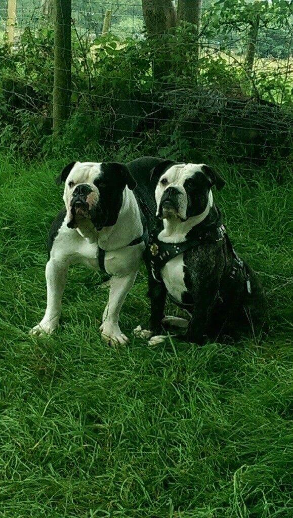 Alapaha bulldog puppies