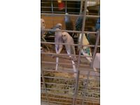 Budgies for sale. Friendly and healthy birds