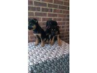 3 German Shepherd cross puppies