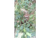 plants 2 blue berry plants