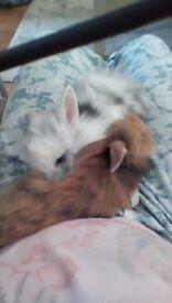 Lion head cross bunnies