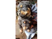 2 male rottweiler puppies for sale. 8 weeks old Ready now £550