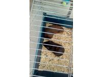 2 guinea pigs and large cage