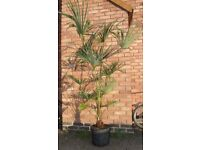 Trachycarpus Fortuneii, Chusan Palm, Fully UK Hardy Outdoors, 6Ft Tall In 15 Litre Pot