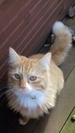 Friendly long haired ginger and white cat missing from Gifford Area, East Lothian.