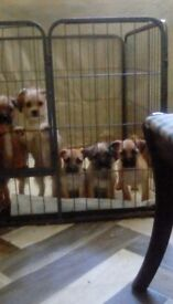 Lhasa Apso xJackawawa Puppies