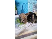 Lovely friendly Pure bred mini lops for sale