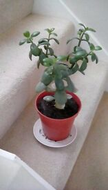 Potted Money Plants