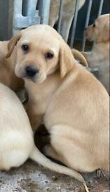 Kc Reg Golden Labrador Puppies