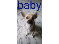 Chihuahua Puppy for Sale (boy) £220