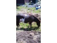 Minature shetland ponies
