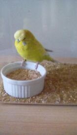 Budgie found in motherwell yesterday, please contact to return to owner