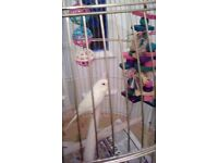 Small yellow semi tame budgie with cage and accessories