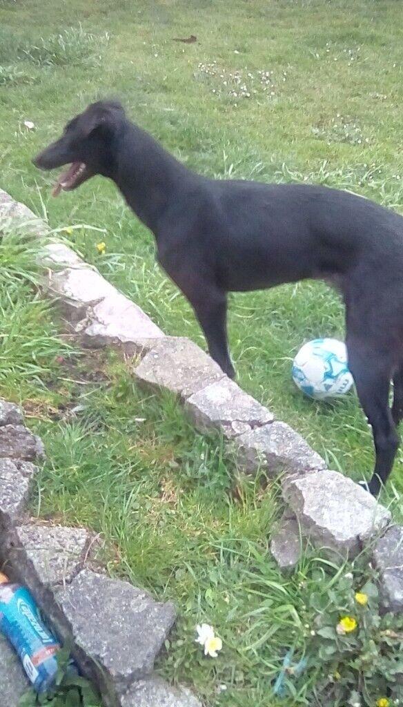 Lurcher bitch for sale collie whippet saluki greyhound cross a beddi  greyhounf | in Powys | Gumtree