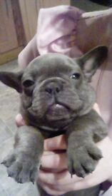 French bulldog puppies, KC registered, blues, lilacs