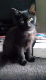 2 beautiful black female kittens