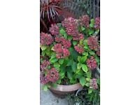 Large Potted Hydrangea
