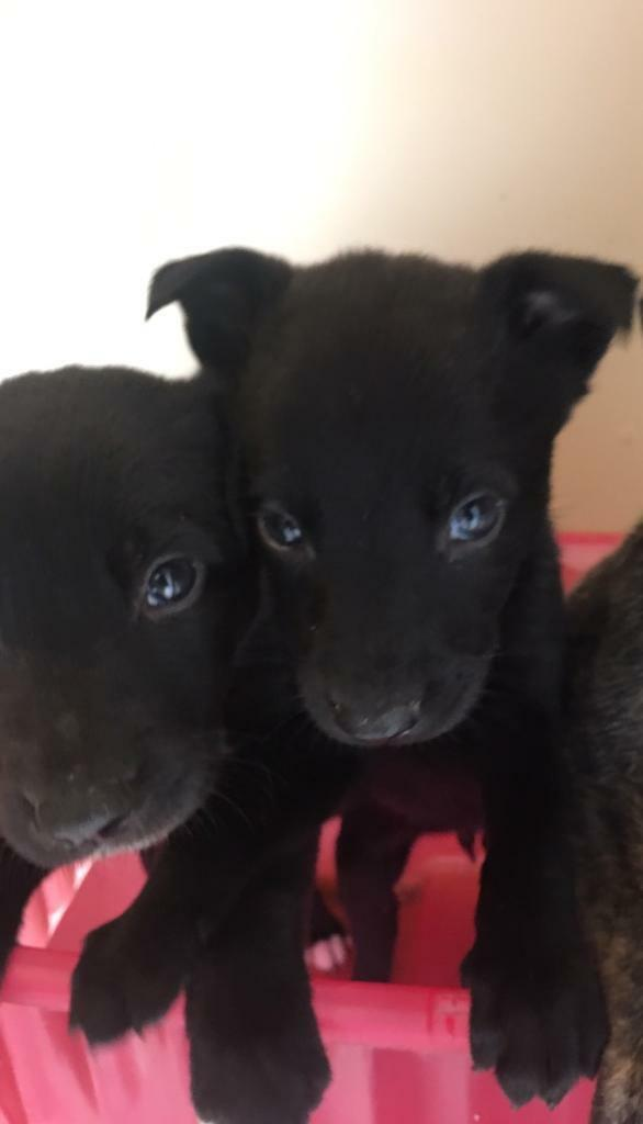 Whippet x lab pups